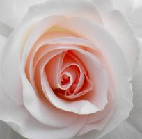 Rose for a Wedding Bouquet by artamusica