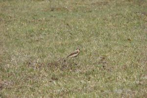 Northern Wheatear by Lot1rthylacine