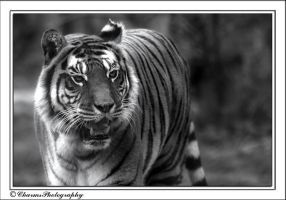 Big cat 3 - Tiger by CharmingPhotography