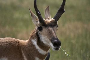 Pronghorn by thegreatdanno