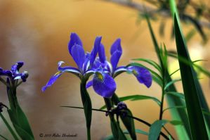 From the Muddy Banks an Iris by aperfectmjk