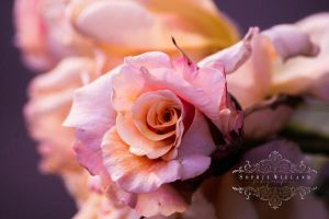 Rosy Rose by Sophie-Wieland