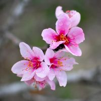 Cherry Blossoms by AndrewCarrell1969