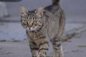 Brown Tabby 3 by Lakela