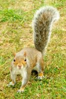 Squirrel 1 - Regents Park by wildplaces