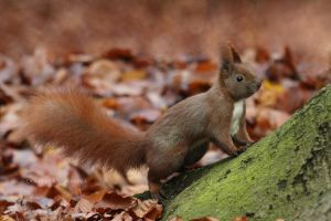 Red squirrel by xstarkiller