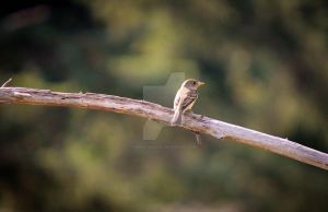 Juvenile Willow Flycatcher by Spirit-whales