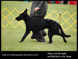 -Black Shepherd- :stock: by SRS-Photography