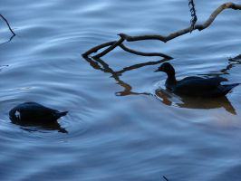 Ducks by Krol7