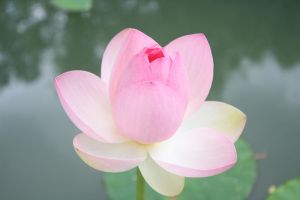 Lotus by Sagittus