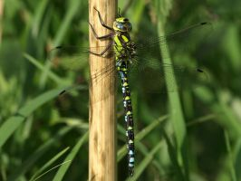 September 14th Southern Hawker 4 by Taliesin-Neonblack