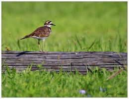 North Beach Killdeer by Ryser915