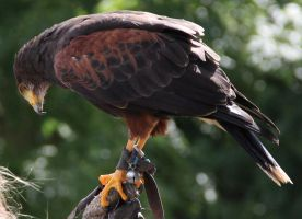 Harris Hawk 4 by Chocomix-Stock