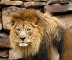 Portrait of a King by TlCphotography730