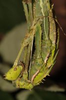 heteropteryx dilatata female moulting 2 by Idol0mantis