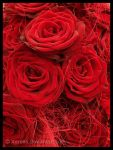 Blood Red Roses by Xerces
