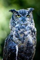 Great horned owl by toribio
