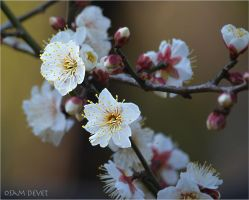 Japanese apricot02 by osam-devet