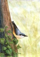 Nuthatch by jfapeacock