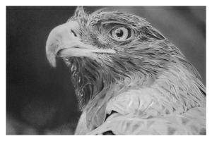 The Golden Eagle by girl-with-a-pencil