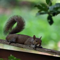 SQUIRREL by FriendFrog