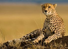 compare the cheetah.com by Wintertrua