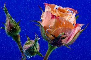 Rose underwater with bubbles by akadime