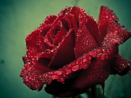 Deep Red Rose Redux by Sixthcrusifix