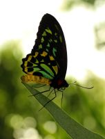 Black And Yellow Butterfly by Souzay