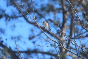 Tufted Titmouse by Laur720