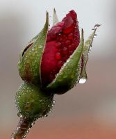 Droplets on Rose by petmag
