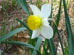 my daffodil by crazygardener