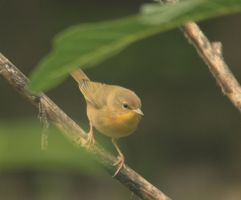 Immature common yellow throat by Laur720