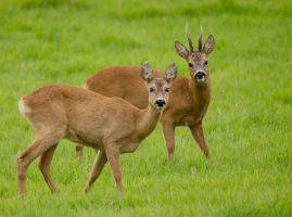 Roe buck with doe today by RamonaRe