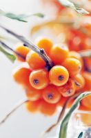 sea-buckthorn by AlexEdg