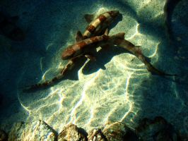 Bamboo Shark by alisebel