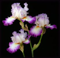 THREE IRIS' by THOM-B-FOTO