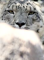 Where's my snow leopard...there she is by 1pen