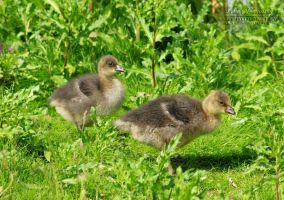 Little Lesser fronted goose by SaraJArts