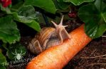 Big Snail on Carrot by TheFunnySpider
