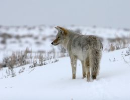 Coyote in winter 4 by wildfotog