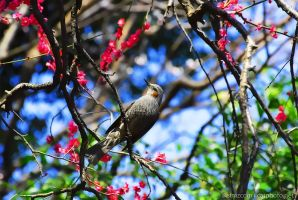 Brown-eared Bulbul on Red-blossomed Plum Tree by simzcom