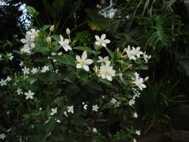 White Flowers II by mimx-Stock