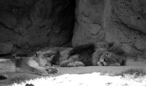 L is for Lazy Lions by numberoneblind