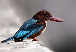 White-throated Kingfisher by Jamie-MacArthur