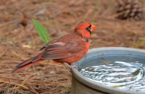 Male Cardinal 9-17-13 by Tailgun2009