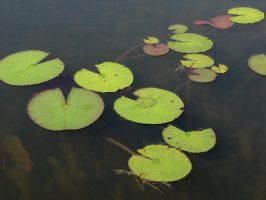 Lily Pad Stock 2 by Moonchilde-Stock