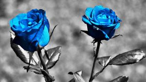 Blue Roses by harrykrizz