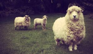 pet sheep by anelamarie