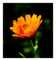 Orange Flower by Wilce
